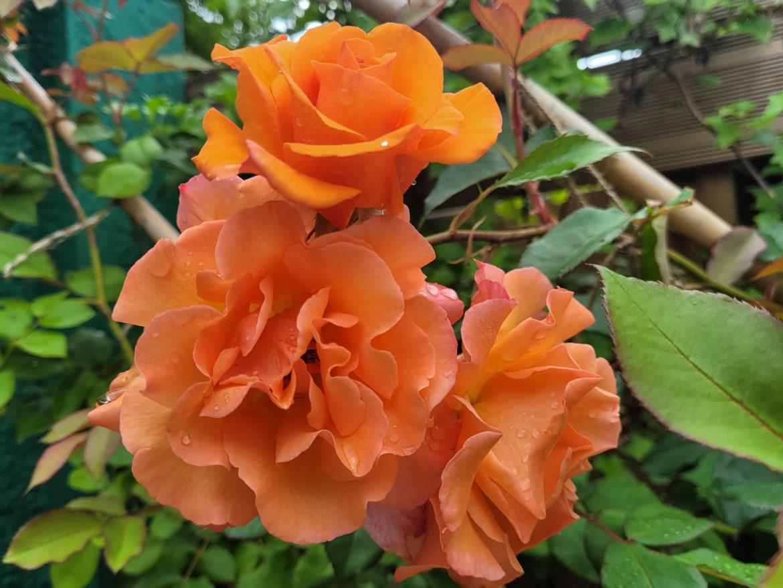 Délicate la fleur fane le fruit désire mûrir !